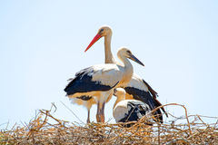 White stork with young baby storks on the nest Royalty Free Stock Photography