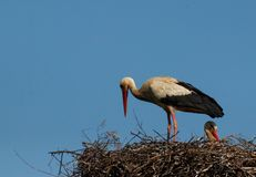 White stork with the young bird,Stork in the nest royalty free stock photos
