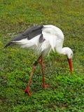 White Stork. Young White Stork - Ciconia ciconia in garden Stock Photos