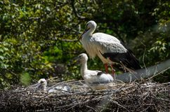 White stork with 2 young ones sitting in a nest in Zurich Zoo royalty free stock photography