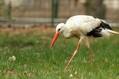 White stork at the zoo Stock Photos