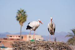 White Storks Stock Photo