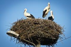 White storks royalty free stock images