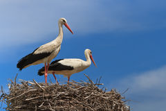 Free White Storks Stock Photography - 24611622