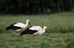 White Storks Royalty Free Stock Image