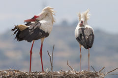 White storks. In love in extremadura spain Stock Images