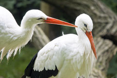 White storks Royalty Free Stock Image