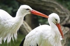 White storks Stock Images