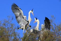 White storks bird Stock Photo
