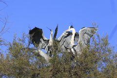 White storks bird Royalty Free Stock Photo