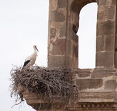 White storks ( Ciconia ciconia). White storks ( Ciconia ciconia), in a church tower in Portugal Stock Image