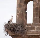 White storks ( Ciconia ciconia). Stock Image