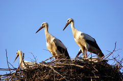White storks (ciconia ciconia) family in the nest close-up. One of the most beautiful large birds in the stork family Stock Photo
