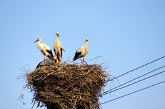 White storks (ciconia ciconia) family in the nest. Work is done. Curious who photographs. One of the most beautiful large birds in the stork family Royalty Free Stock Image