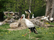 White storks. Ciconia ciconia on the farm rural scene Royalty Free Stock Images