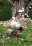White storks. Ciconia ciconia on the farm rural scene Stock Photo
