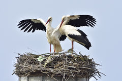 White Storks Stock Photos