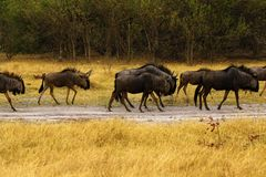 Migrating Companions heads down walking together i a huge herd. White Storks feed off the backs of the Wildebeest and Zebra during the Great Migration royalty free stock photography
