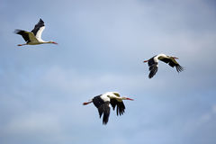 White storks in flight Stock Photo
