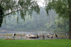 White storks and gray cranes on the shore of lake. A horizontal picture Royalty Free Stock Photo