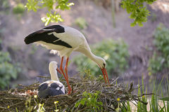 White storks on its nest Royalty Free Stock Images