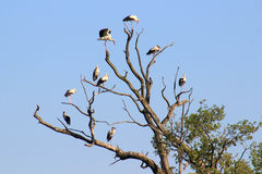 White storks Royalty Free Stock Photo