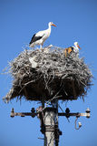White storks in nest Stock Photography