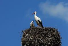 White Storks Stock Photos