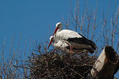 White storks at nest Stock Image