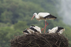 White storks at nest Royalty Free Stock Images