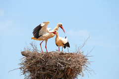 White storks on the nest Stock Image