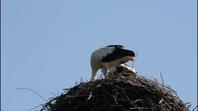 White storks stock footage