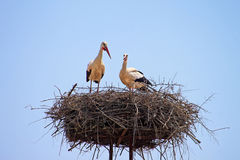 White storks in the nest Stock Photography