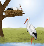 White Storks and Nest. Pair of white stork birds, one is walking in water. The other stork sitting in stick nest up on tree limb.  Green grassy hills and blue Stock Photography