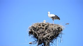 White storks in a nest on a pole. On background of blue sky stock video