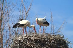 White Storks Stock Photography