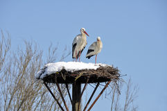 White storks on a nest, Salburua park (Spain) Royalty Free Stock Photos