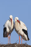 White storks on nest Royalty Free Stock Photography