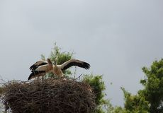 White Storks Nest Stock Photo