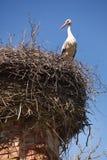 White storks in nest Stock Images