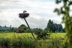 White storks nesting in Latvia Stock Image