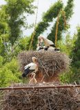 White Storks Nests Royalty Free Stock Photo