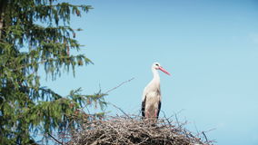 White storks with offspring on nest. The white stork (ciconia ciconia). Bill clattering white storks with offspring on nest.The white stork ciconia ciconia is stock video footage