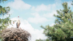 White storks with offspring on nest. The white stork (ciconia ciconia). Bill clattering white storks with offspring on nest.The white stork ciconia ciconia is stock video