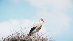 White storks with offspring on nest. The white stork (ciconia ciconia) stock video