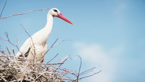 White storks with offspring on nest. The white stork (ciconia ciconia) stock video footage