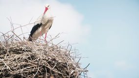 White storks with offspring on nest. The white stork (ciconia ciconia) stock footage