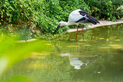 A white storks praying a fish on its mouth in a lake Royalty Free Stock Photo