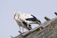 White storks on a roof (Ciconia ciconia) Royalty Free Stock Photography