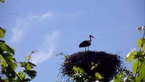 White storks stock video
